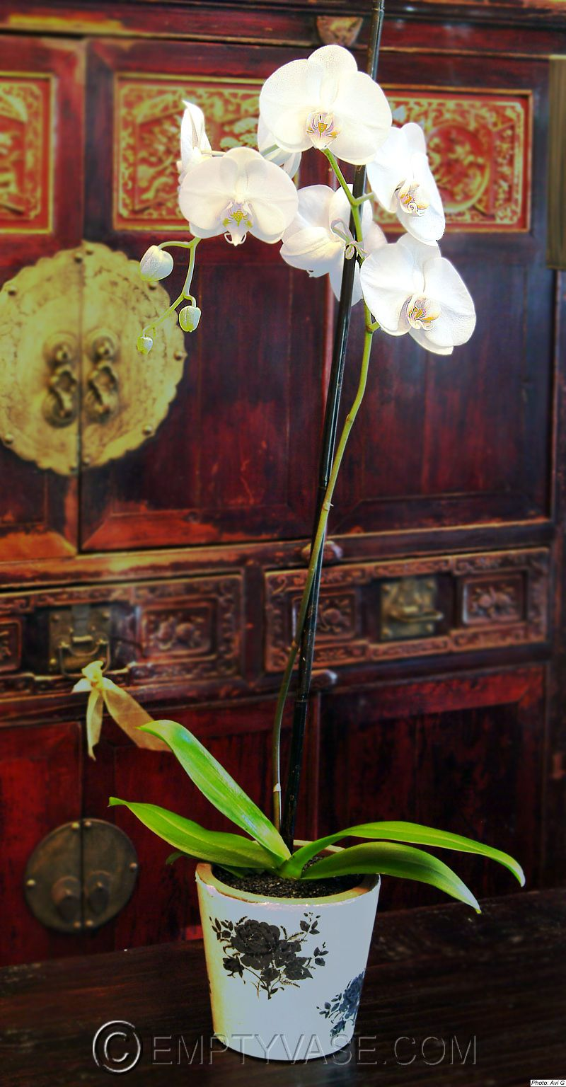 A single stem elegant white phaleonopsis orchid is potted
