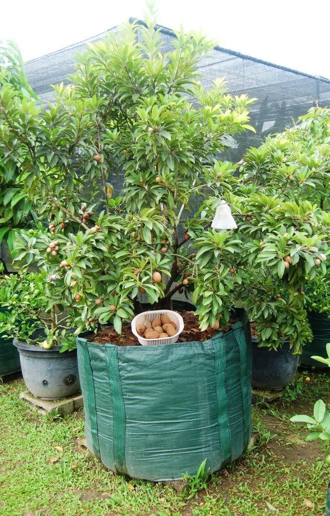 Santonisandraz S Image Ide Berkebun Tanaman Pot Kebun