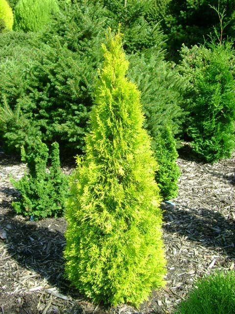 thuja occidentalis 39 filips magic moment 39 conifers pinterest thuja occidentalis shrub. Black Bedroom Furniture Sets. Home Design Ideas