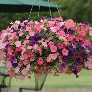 Wave Petunias Favorite Hanging Basket For Color And Fragrance