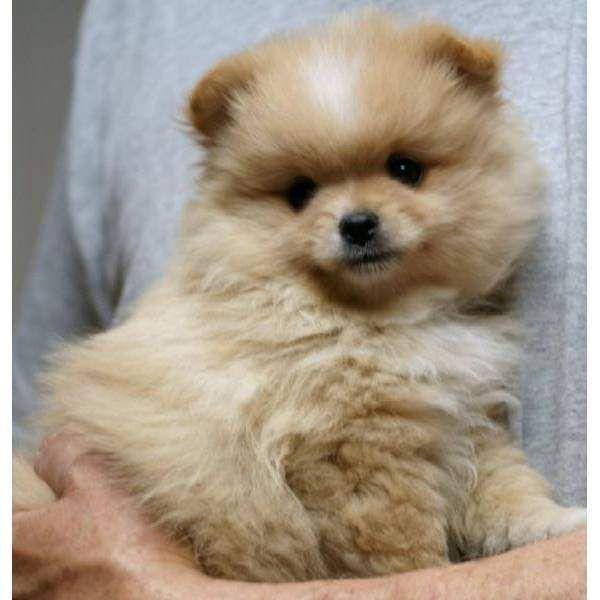 Pomeranian Puppies For Sale Scotland Zoe Fans Blog Pomeranian