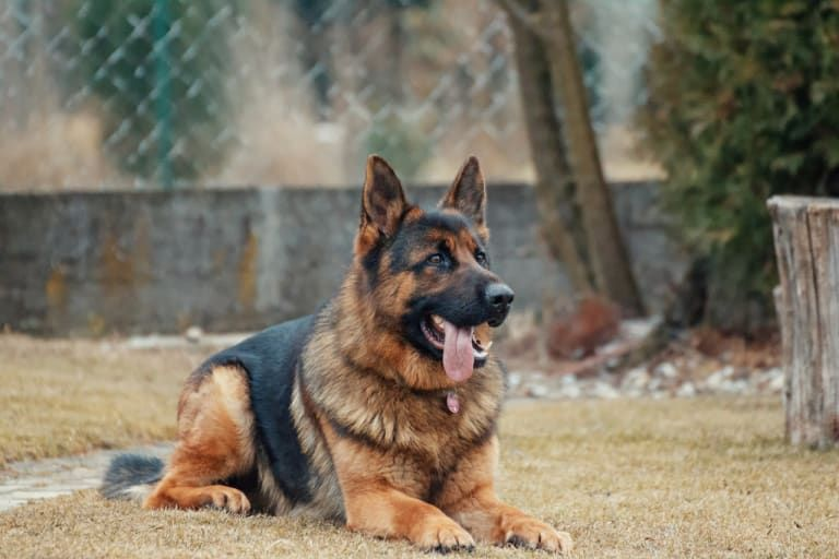 A Brief History Of Dog Training Best Guard Dogs Best Guard Dog