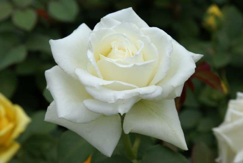 Tineke Ludwigs Roses Hybrid Tea Roses Tea Roses Rose