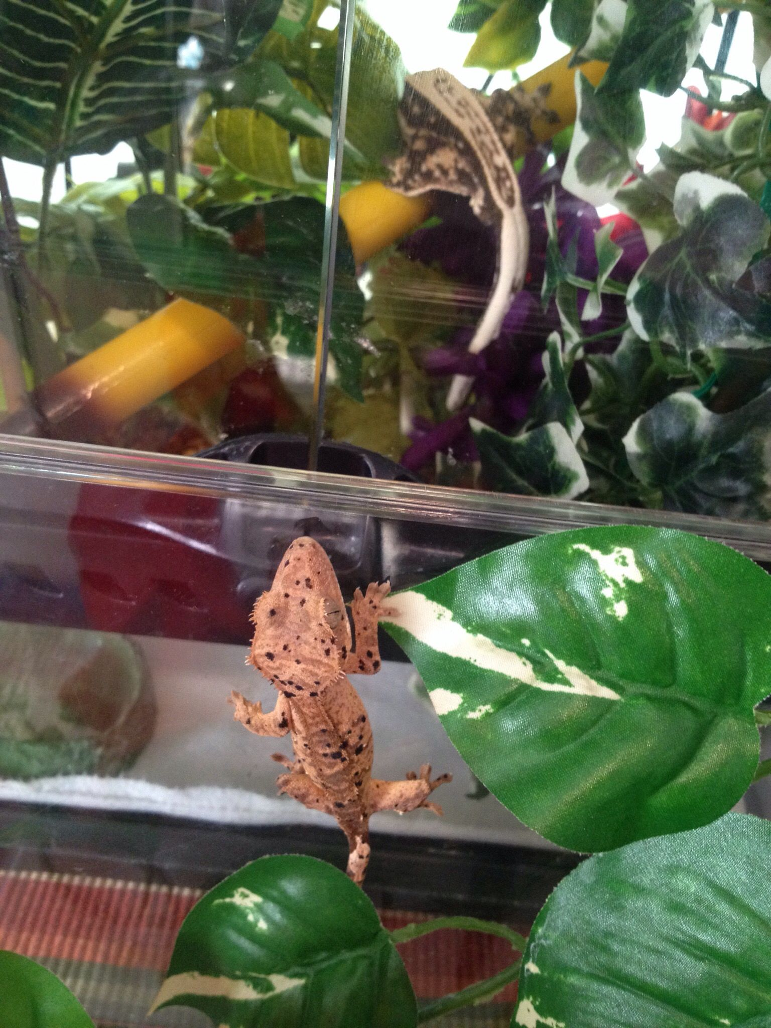 My Baby Super Dalmatian Checking Out Coconut He S 5 Grams And From Altitude Exotics Having A Hard Time Naming Hi Crested Gecko Gargoyle Gecko Leopard Gecko