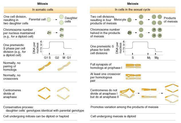 Mitosis Vs Meiosis Table Summary