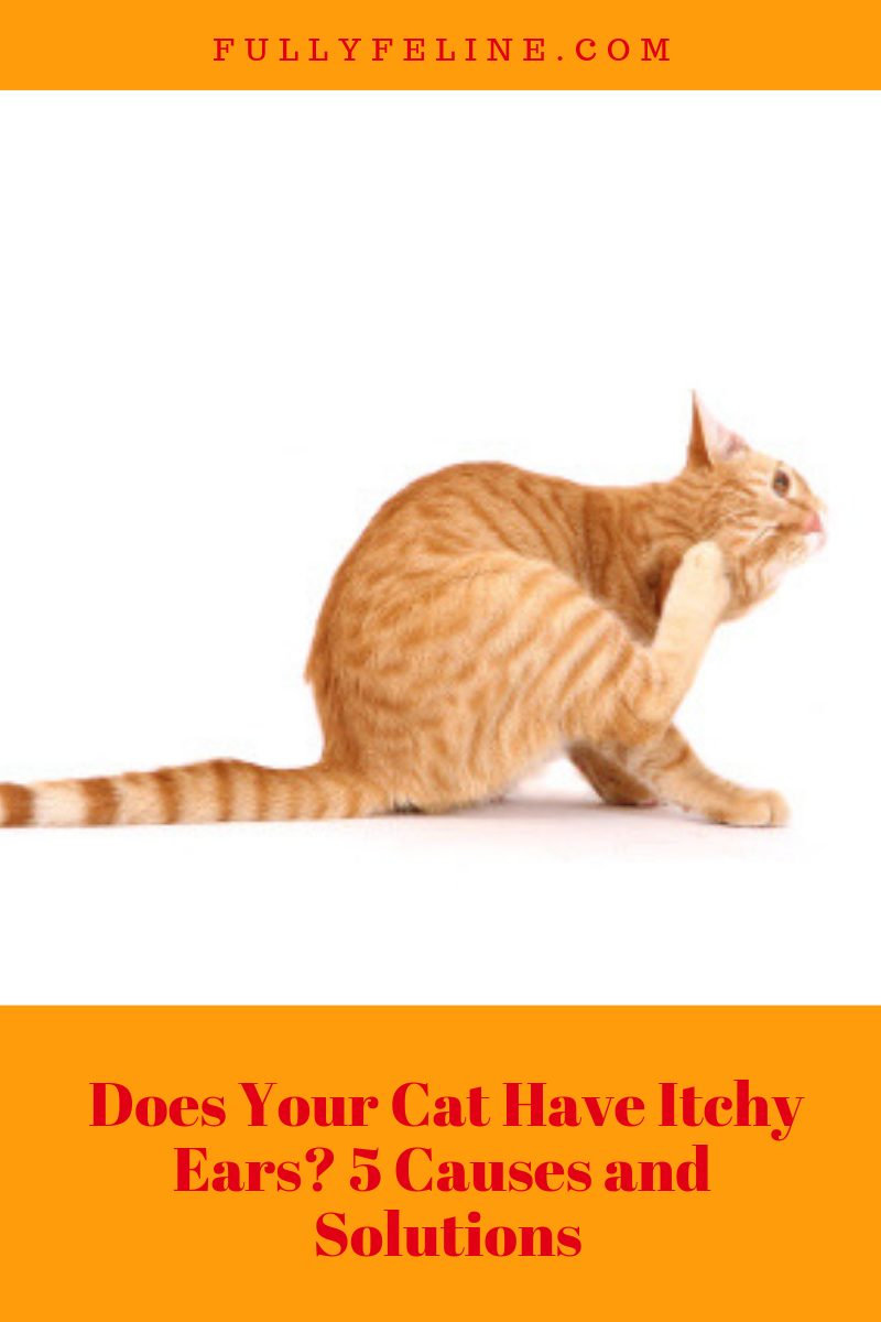 Noticed Your Cat Scratching His Ears Frequently Learn Possible Causes And Solutions Cathealth Itchy Ears Cats Cat Scratching Ears