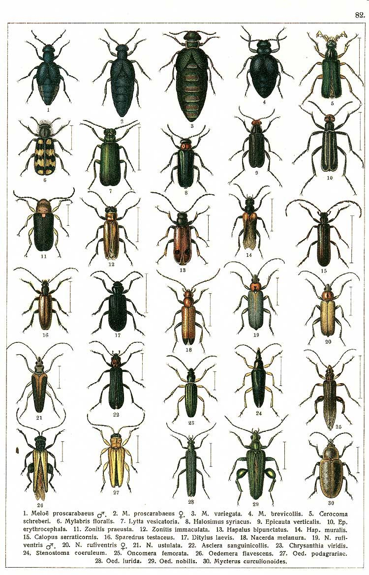 """G.G. Yakobson (1905-1915) - """"Beetles of Russia"""": table 82"""