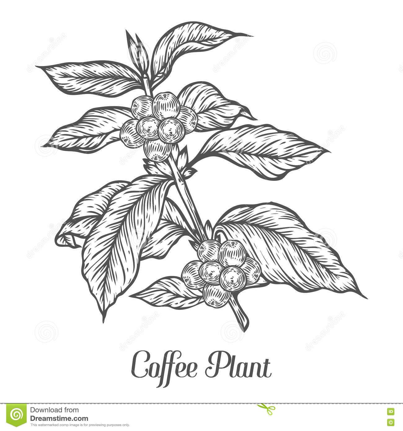 Pin by Sabirsamir on Café Coffee plant, Coffee beans