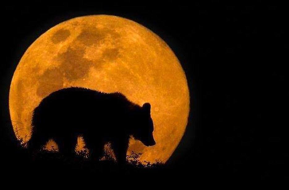 oso en luna llena