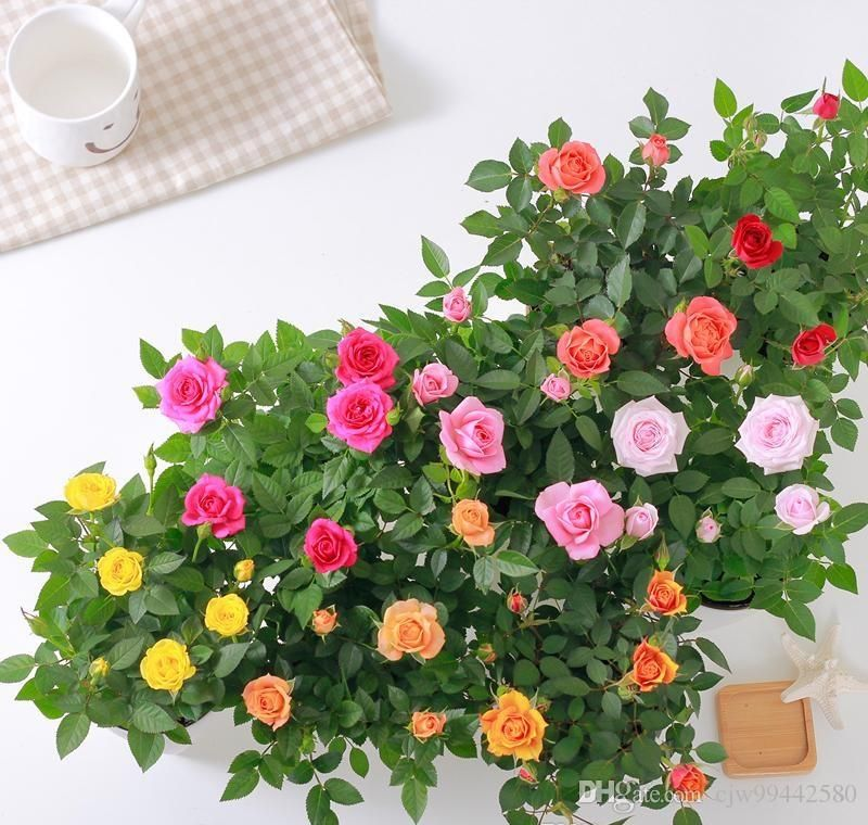 20pcs mini rose seed flower pot rose seed plant indoor balcony