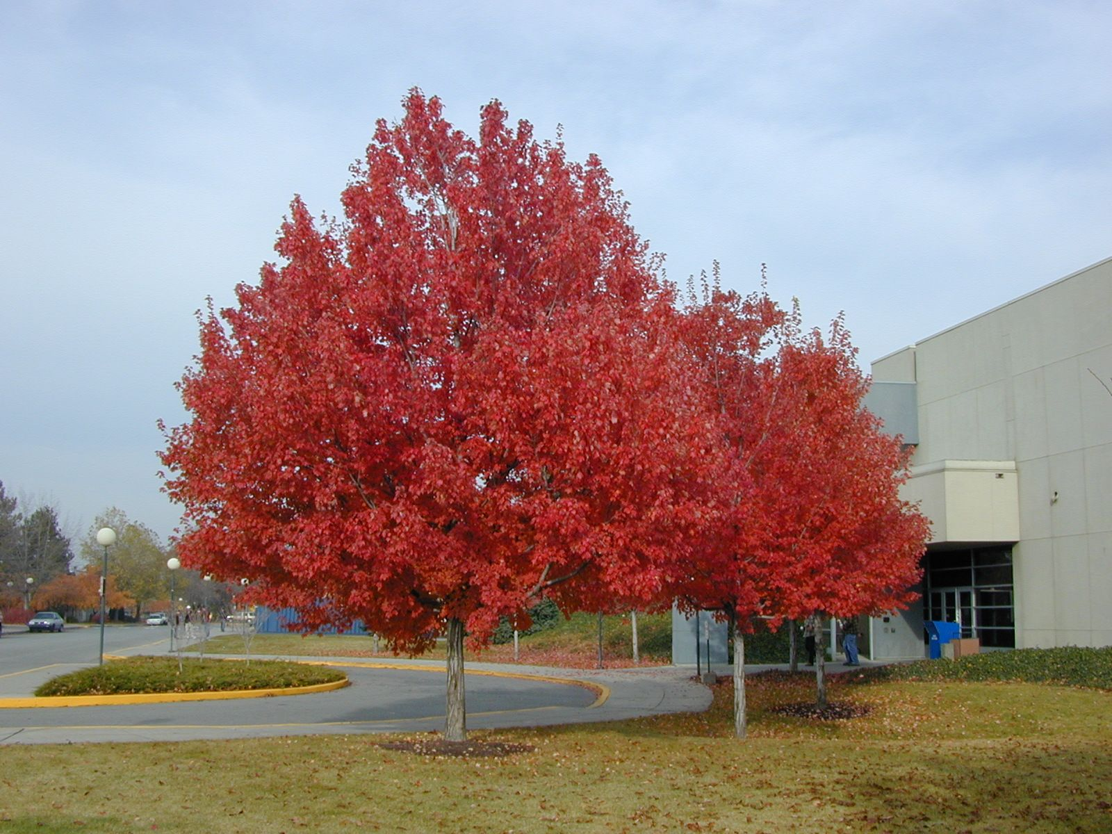 Acer rubrum red maple also known as swamp water or soft maple trees of santa cruz county acer rubrum red maple sciox Choice Image
