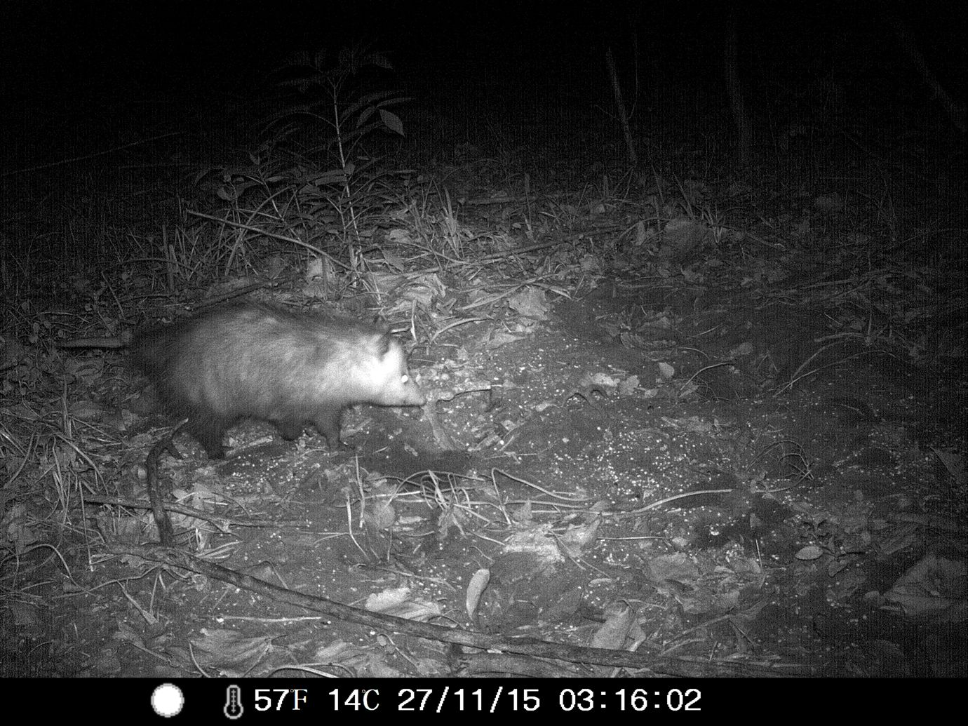 11/27/2015: I'm pretty sure this is crooked tail, my childhood opossum brother from another mother #wildlifecam