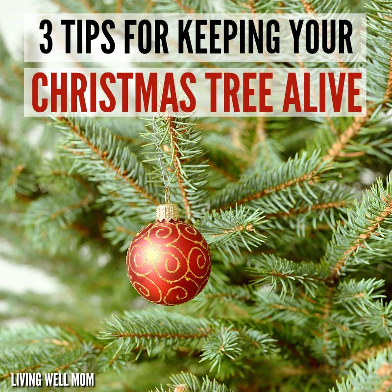 How To Keep Your Christmas Tree Alive 3 Simple Tips Live Christmas Trees Christmas Tree Water Christmas Tree Care