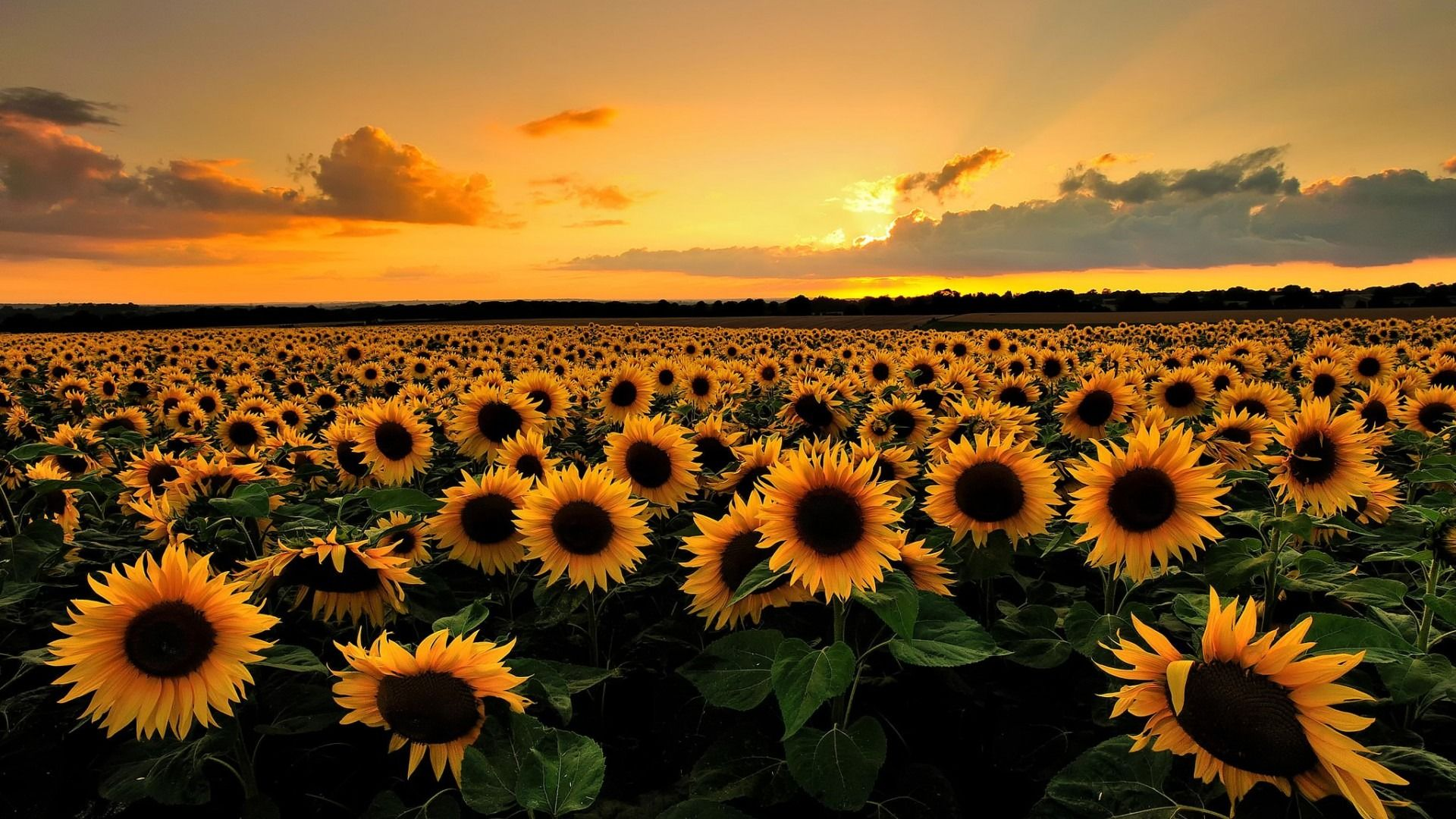 Sunflower Wallpaper Images For Background 1920x1080 Px 53676 KB
