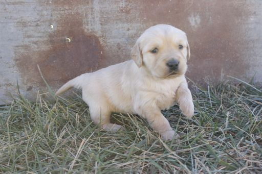 Litter Of 8 Golden Retriever Puppies For Sale In Hillsboro Ks