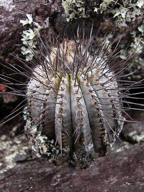 Uebelmannia pectinifera var. pseudopectinifera
