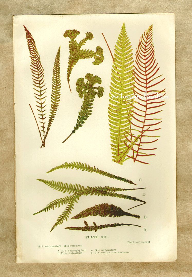 Vintage Print FERN Plate xii1910, botanical flowers decorative ...