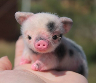 Pin By Jessie D On Cute Baby Animals In 2020 Cute Baby Pigs Baby Animals Funny