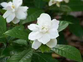 Gardenias The Smell Gardenia Perfume Perfume Oils Fragrance