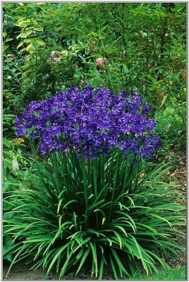 Blue perennial flowers that bloom all summer gardening plants more pinterest - Flowers planted may complete garden ...