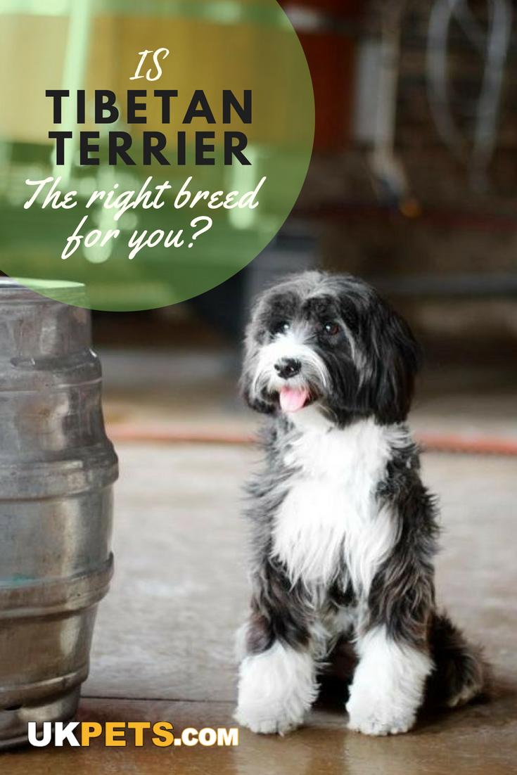 Tibetan Terrier Tibetan terrier, Dog breeds, Terrier