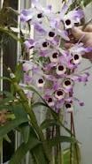 Afbeeldingsresultaat voor pinterest imagenes de phalaenopsis