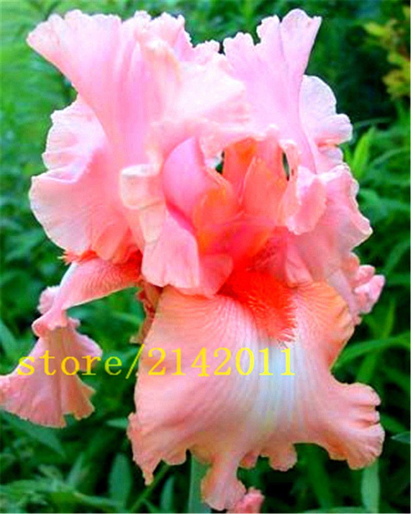 50 개/가방 핑크 아이리스 씨앗, 수염 아이리스 씨앗 희귀 분재 아이리스 접 난초 꽃 씨앗, 자연 식물 홈 정원