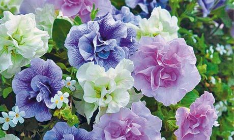 Plant Of The Week Petunia Tumbelina Petunia Flower Petunias Petunia Plant