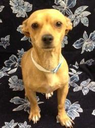 Carl Petsmart Is An Adoptable Chihuahua Dog In Yuma Az Humane