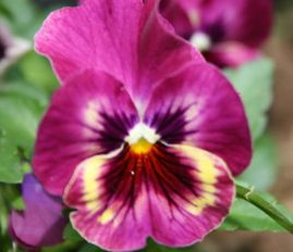 Pink pansy pansy passion pinterest flowers pink pansy mightylinksfo Choice Image