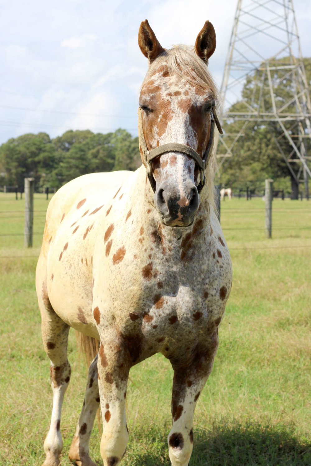 Horse for adoption Marquis, an Appaloosa in Waldorf, MD