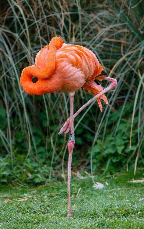 Flamingo - Animals Birds Phoenicopterus Flamingos - Phoenicopteridae