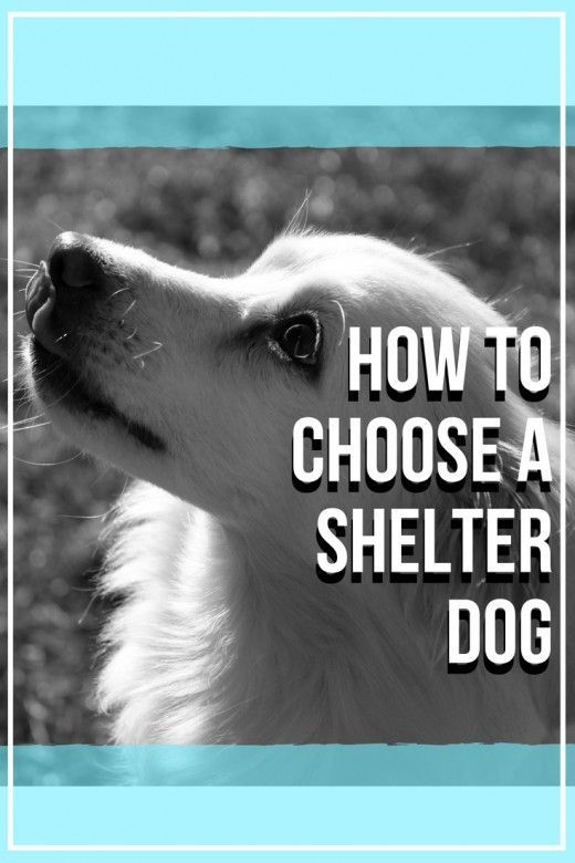 How to Choose a Shelter Dog -  Here are some tips on how to choose a shelter dog.  - #Adoptablebeagle #Amphibians #Beardeddragon #Beautifulcats #Belugawhale #BoxerMix #ChihuahuaDogs #Chihuahuas #Chinchillas #Choose #Cubs #Dachshund #Dog #Dogs #Dolphins #Endangeredspecies #ExoticPets #Ferrets #Guineapigcare #Humpbackwhale #Kangaroos #Killerwhales #Kitty #Labradorretriever #Leopardgeckos #Lynx #Newfoundlanddogs #Orcas #Otters #Petbirds #Petdogs #Petproducts #Petrats #Petsupplies #Primates #Raccoo