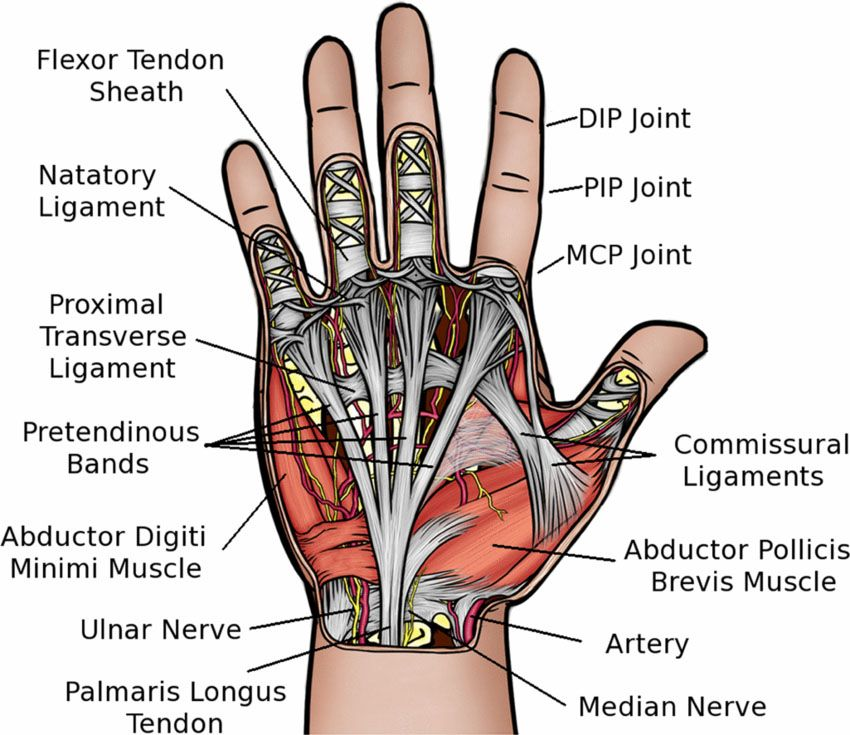Ligaments In Hand Diagram - Block And Schematic Diagrams •