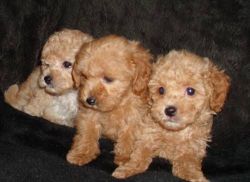 Red Apricot Maltese Poodle Cute Animals Maltese Poodle