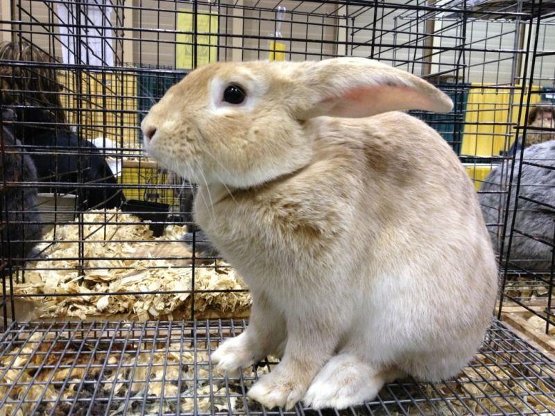 Creme D'Argent Rabbit Raising rabbits, Four legged