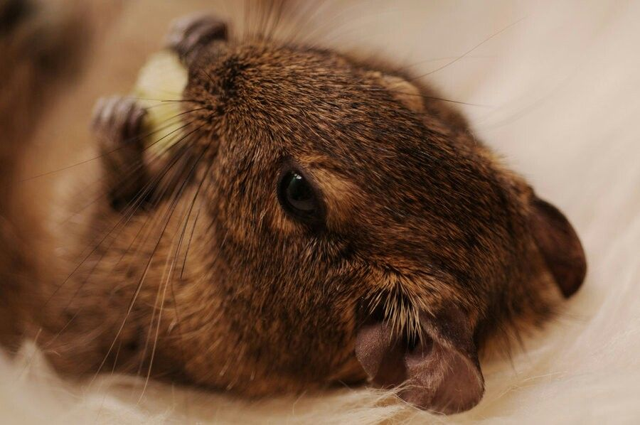 Cute little degu mice moles rats voles - How do you make wild animal in little alchemy ...