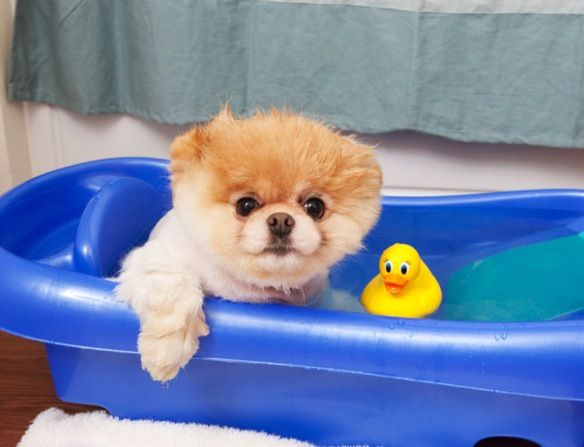 Boo In The Bath With Images World Cutest Dog Boo The Cutest
