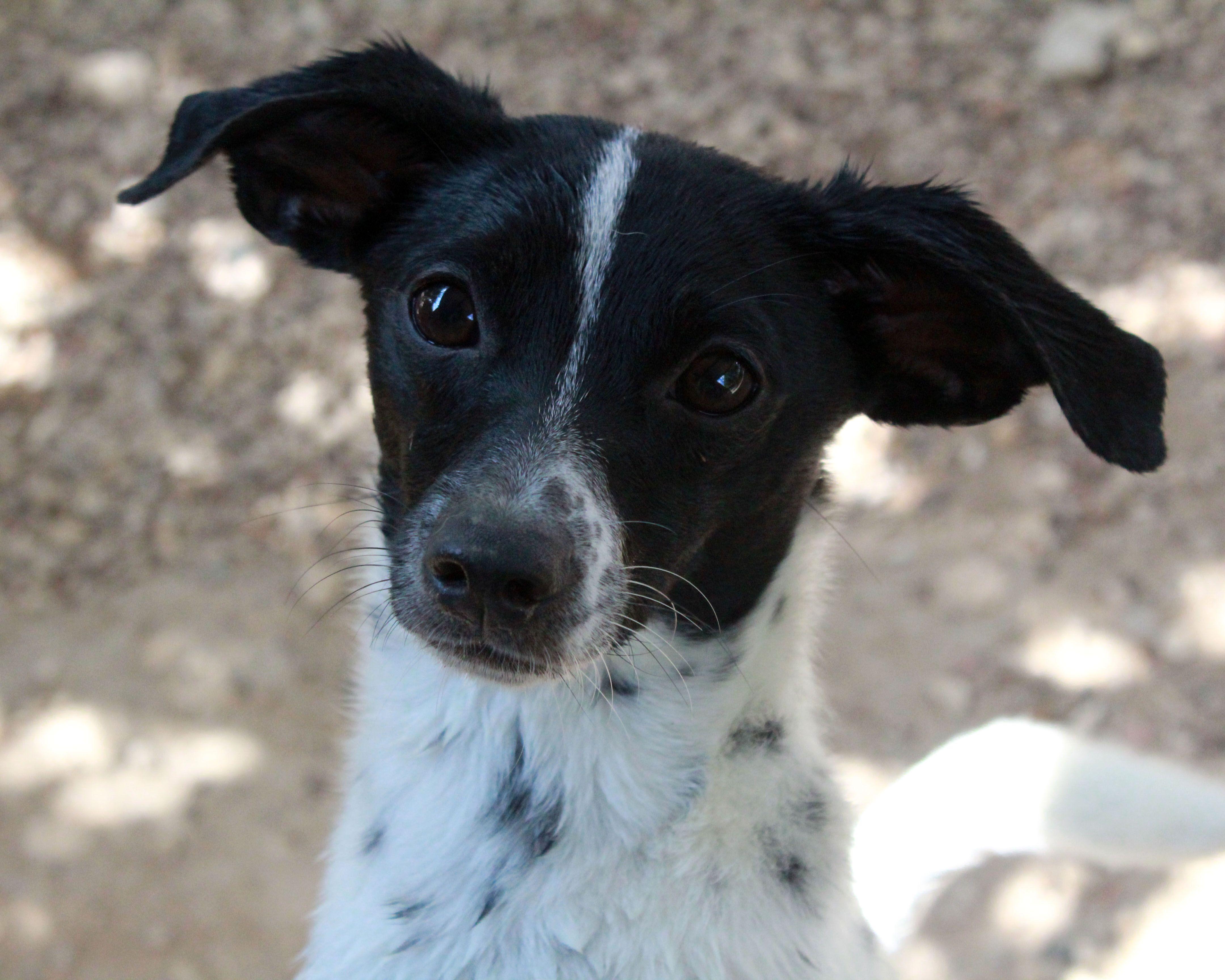 Chiweenie Dog For Adoption In Waco Tx Adn 592139 On Puppyfinder