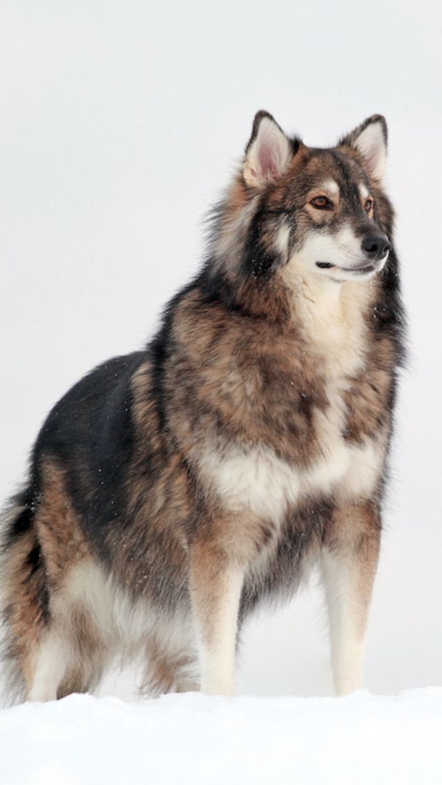 Utonagan Dog Resembles A Wolf But Is A Mix Of Three Breeds