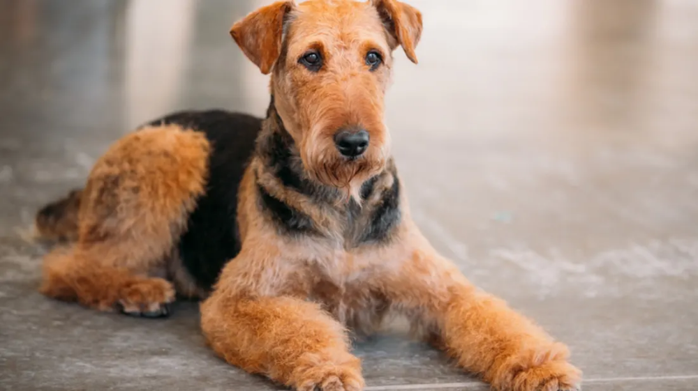 9 Versatile Facts About The Airedale Terrier With Images Dog Breeds That Dont Shed