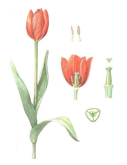 Flickriver Photoset Botanical Illustration By Kathryn Killackey Botanical Illustration Tulips Art Flower Drawing