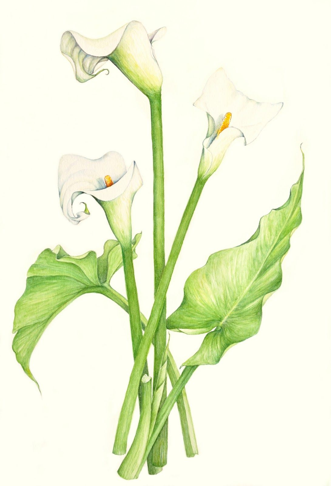 Uncategorized Calla Lily Drawings lily of the valley botanical drawing google search layni draw search