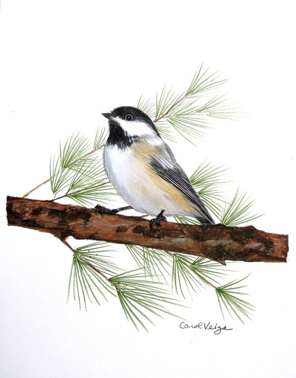 Bird colored pencil drawings by carol veiga via behance