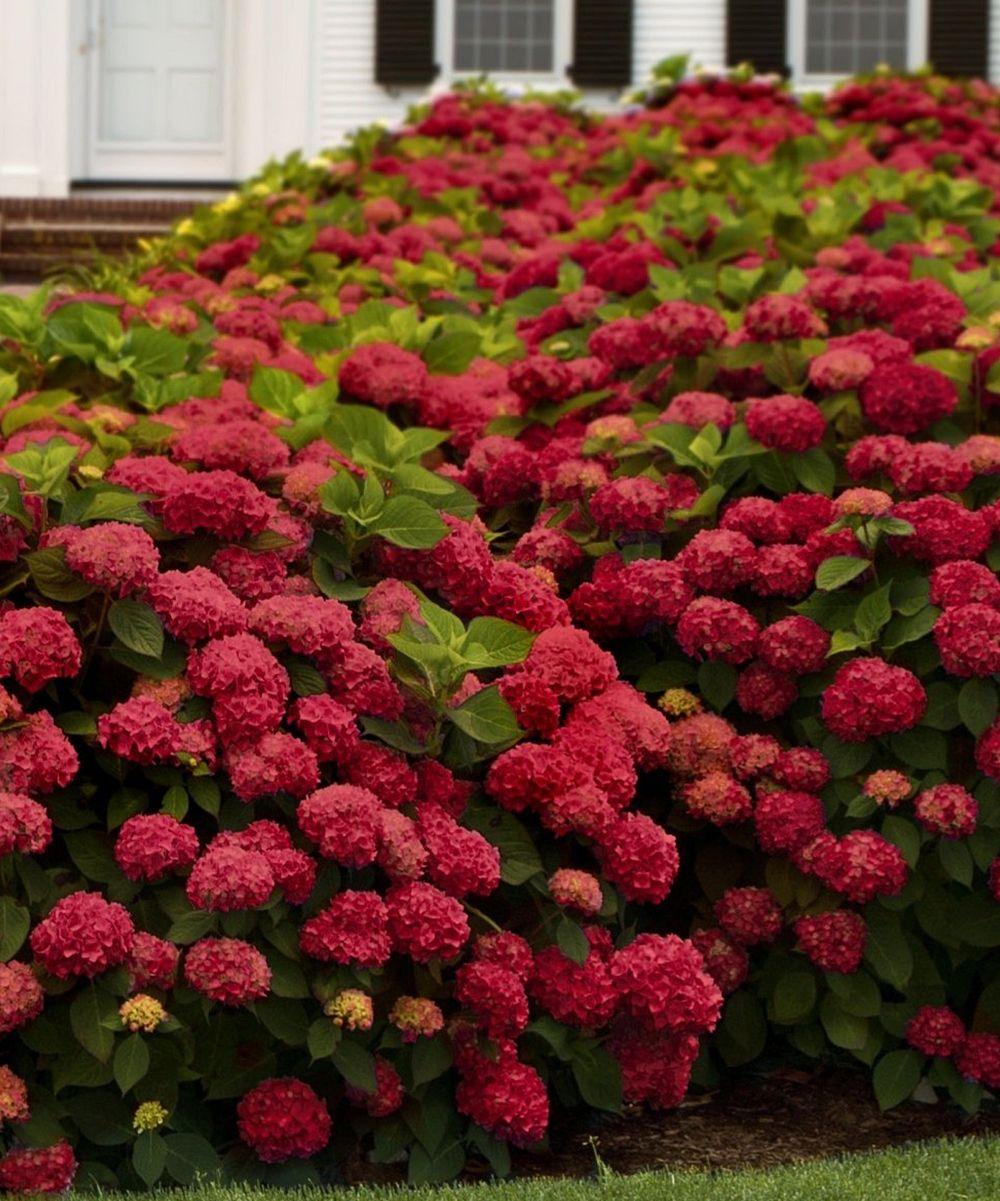 Plant Hydrangeas: Red Sensation Hydrangea