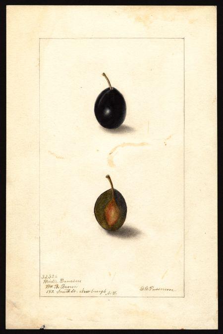 Artist Passmore Deborah Griscom 1840 1911 Scientific Name