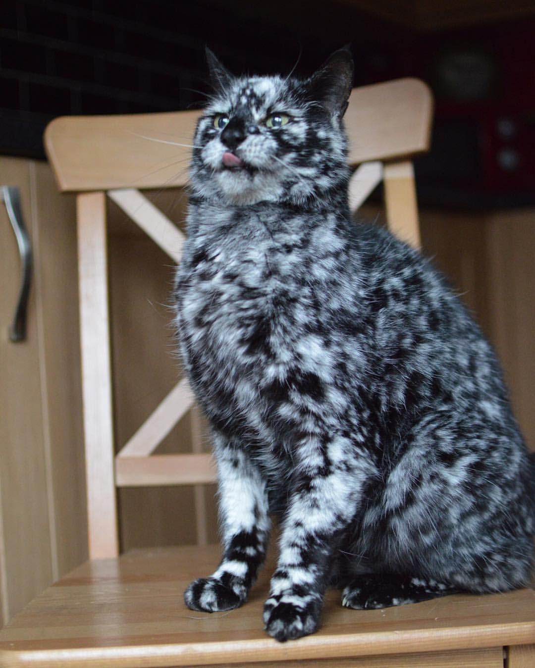 The Ever So Majestic Scrappy Topcatphoto Elegant Cats Igcatjunky Furrendsupclose Flaffy101cats Igcatclub S Cute Animals Pretty Cats Beautiful Cats