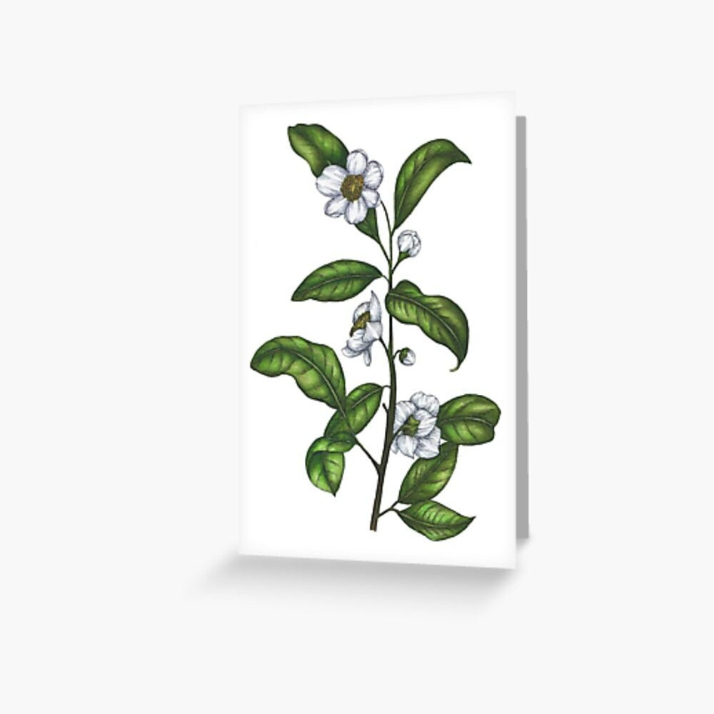 Hand painted tea plant illustration (camellia sinensis) A hand-painted illustration of the botanicals behind one of the world's favourite beverages - camellia sinensis, AKA the humble tea plant!