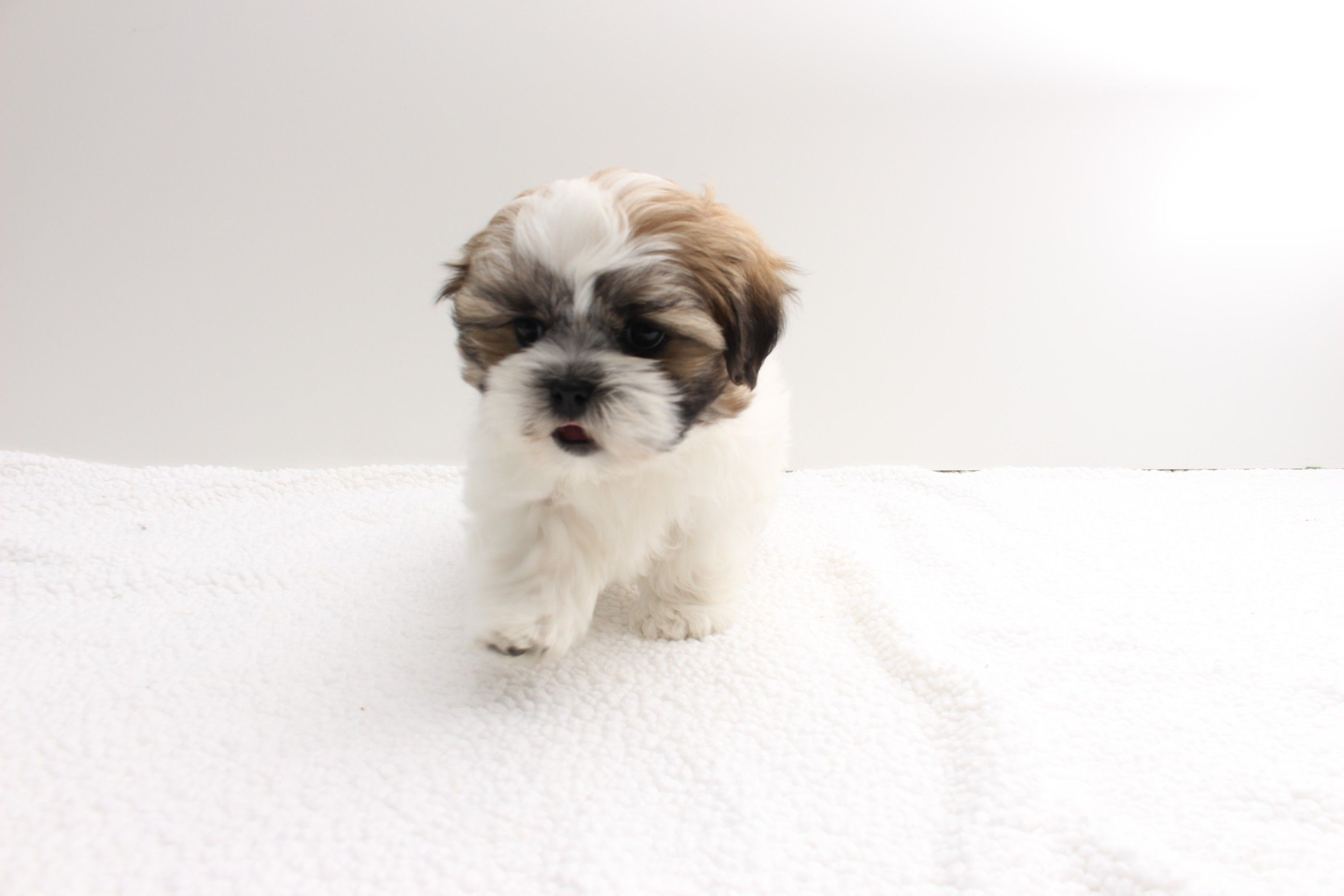 Sign In Sign Up Teacup Puppies For Sale Puppy Starter Kit