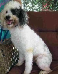 Adopt Hairy On Poodle Rescue Poodle Dogs